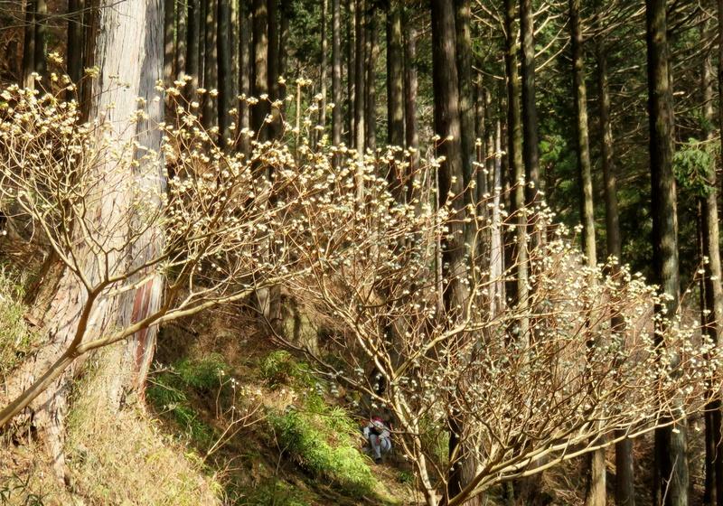 蓑毛、柏木林道の辺りでミツマタが咲き始めたよ_c0171849_16202926.jpg