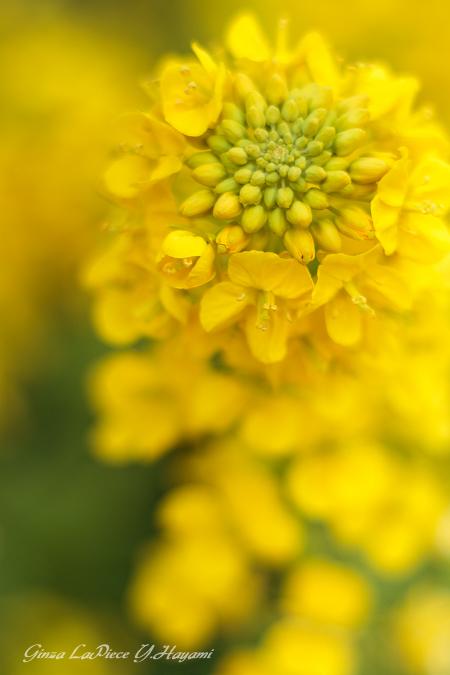 花のある風景 黄色の菜の花_b0133053_0544132.jpg