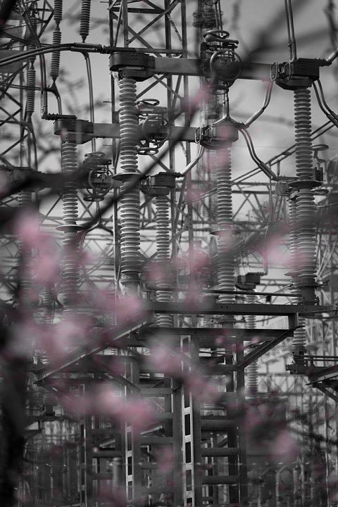 電気ショック疑惑のフライング桜_d0353489_20163599.jpg
