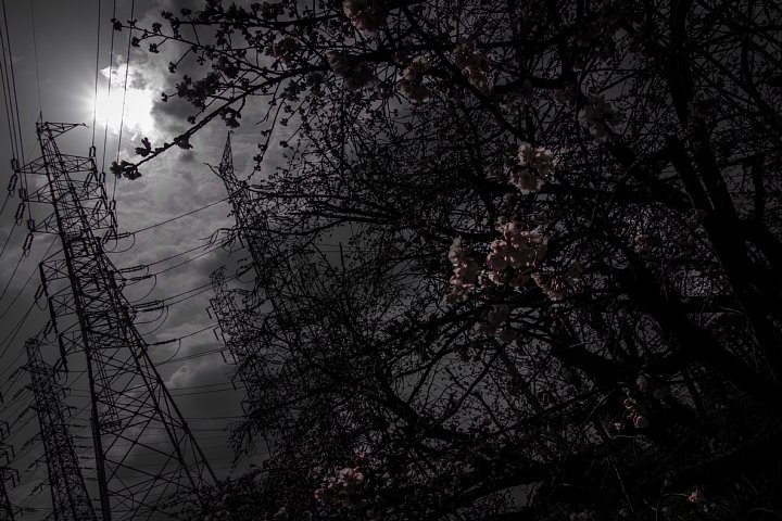電気ショック疑惑のフライング桜_d0353489_20192079.jpg