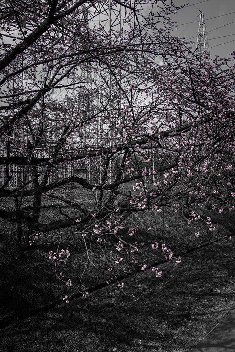 電気ショック疑惑のフライング桜_d0353489_20205237.jpg