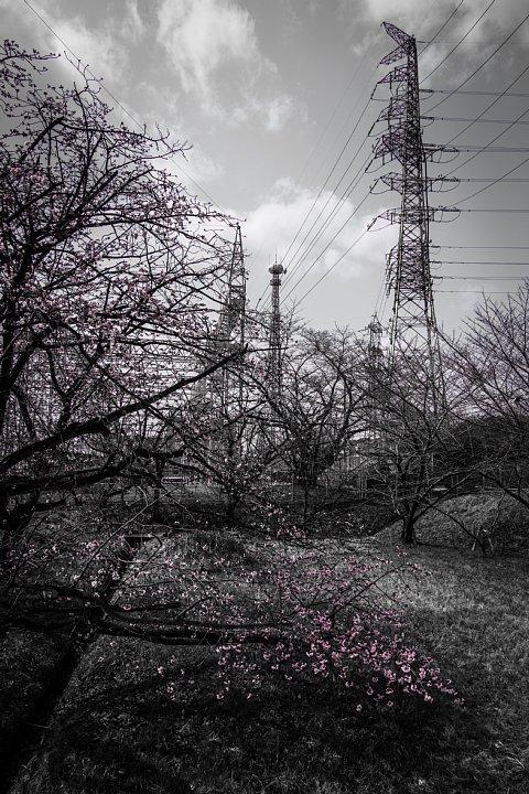 電気ショック疑惑のフライング桜_d0353489_2119361.jpg
