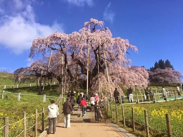 三春滝桜(みはるたきざくら)_d0348249_9514767.jpg