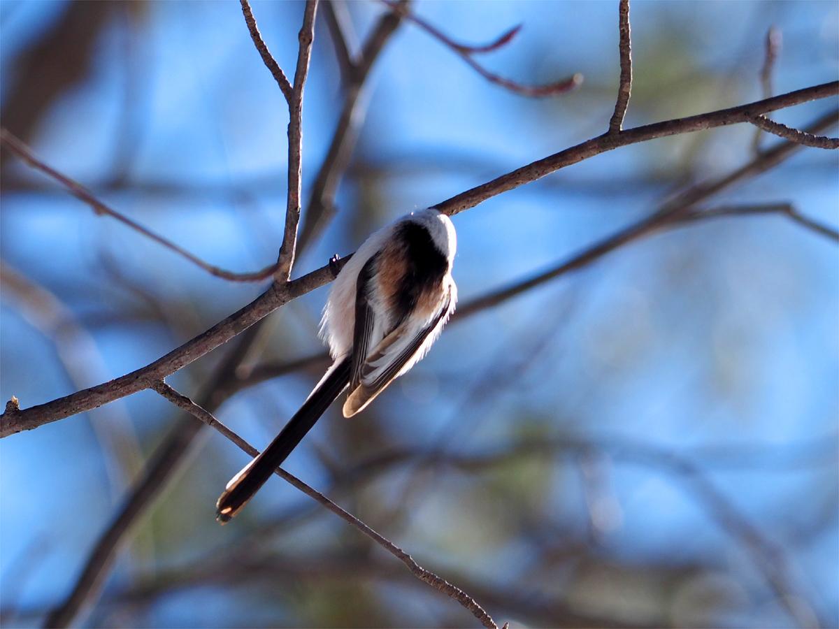 道東の小鳥たち_d0283373_195506.jpg