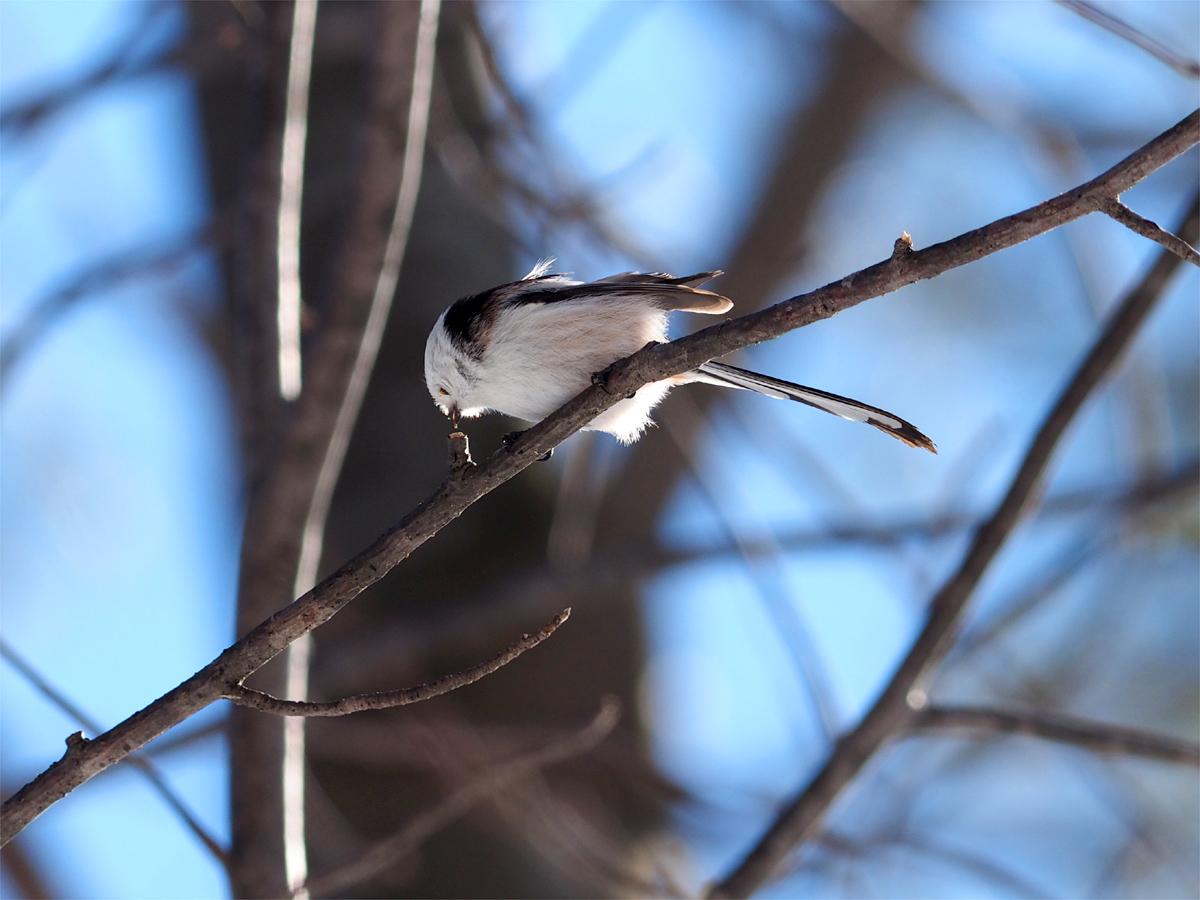 道東の小鳥たち_d0283373_1955796.jpg