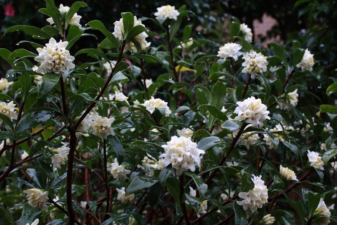 花を活ける ~沈丁花~_a0107574_16083518.jpg