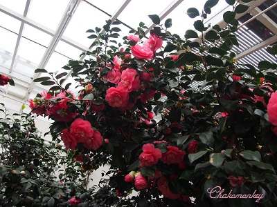 Chiswick House and GardensのCamellia Show_f0238789_2272733.jpg