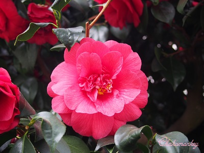 Chiswick House and GardensのCamellia Show_f0238789_2282249.jpg