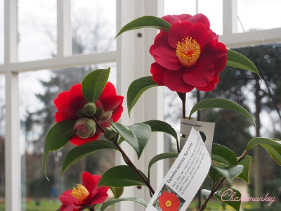 Chiswick House and GardensのCamellia Show_f0238789_236623.jpg