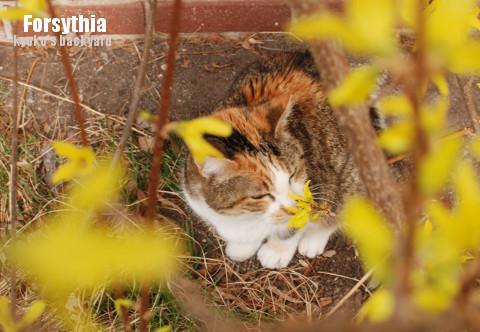 レンギョウを愛でる猫?_b0253205_04062874.jpg