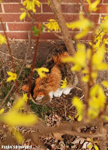 レンギョウを愛でる猫?_b0253205_04074535.jpg
