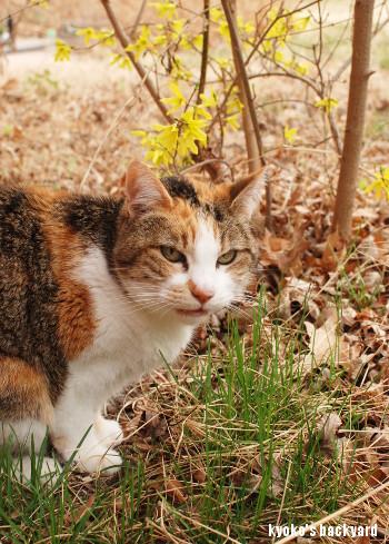 レンギョウを愛でる猫?_b0253205_04084590.jpg
