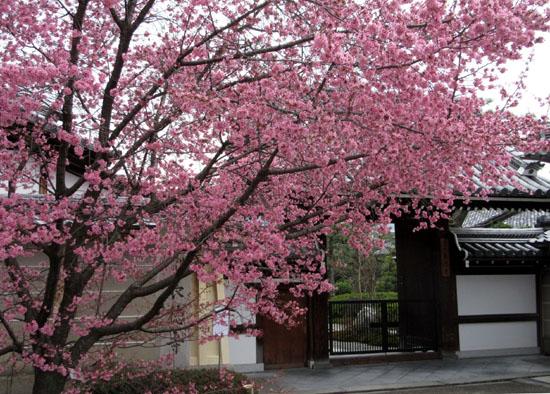 16さくら便り4 長徳寺のおかめ桜_e0048413_21202572.jpg
