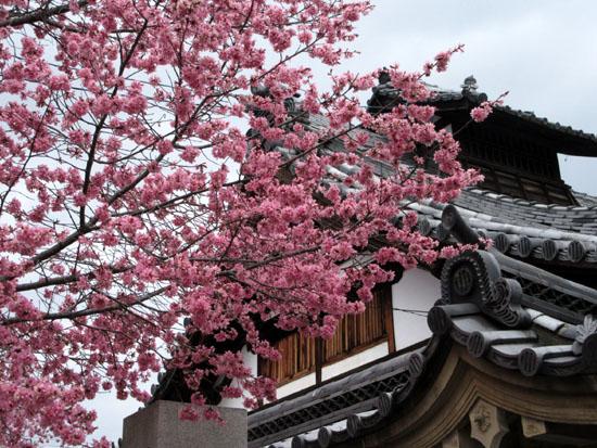 16さくら便り4 長徳寺のおかめ桜_e0048413_21205775.jpg