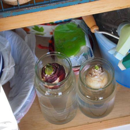 ヒヤシンスの水栽培の方法_a0292194_20292539.jpg