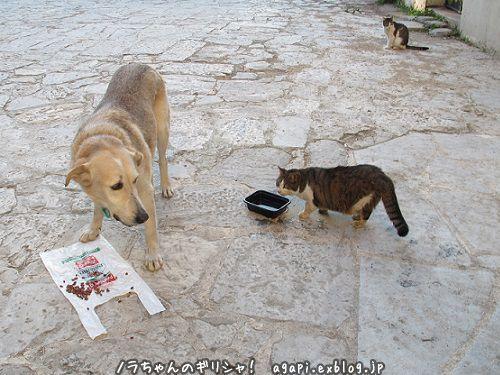 ノラ犬君の飲料水を盗み飲む野良猫_f0037264_16352504.jpg