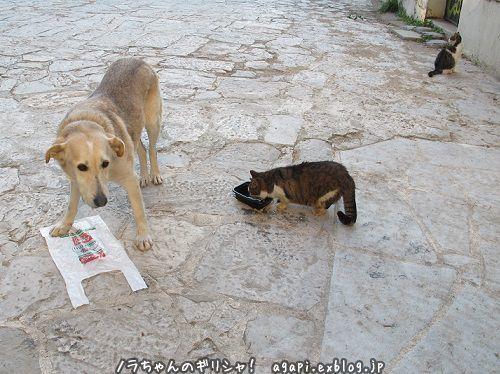 ノラ犬君の飲料水を盗み飲む野良猫_f0037264_16511708.jpg