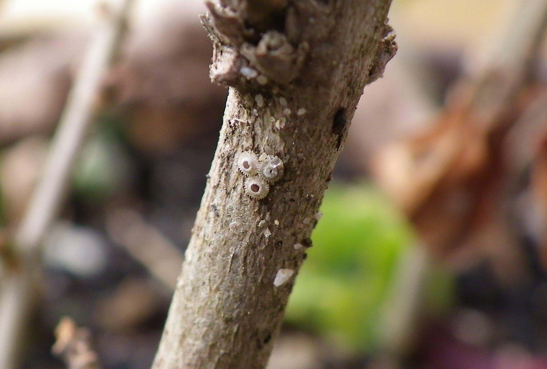 ウラゴマダラシジミ幼虫達  3月12日_d0254540_19435065.jpg