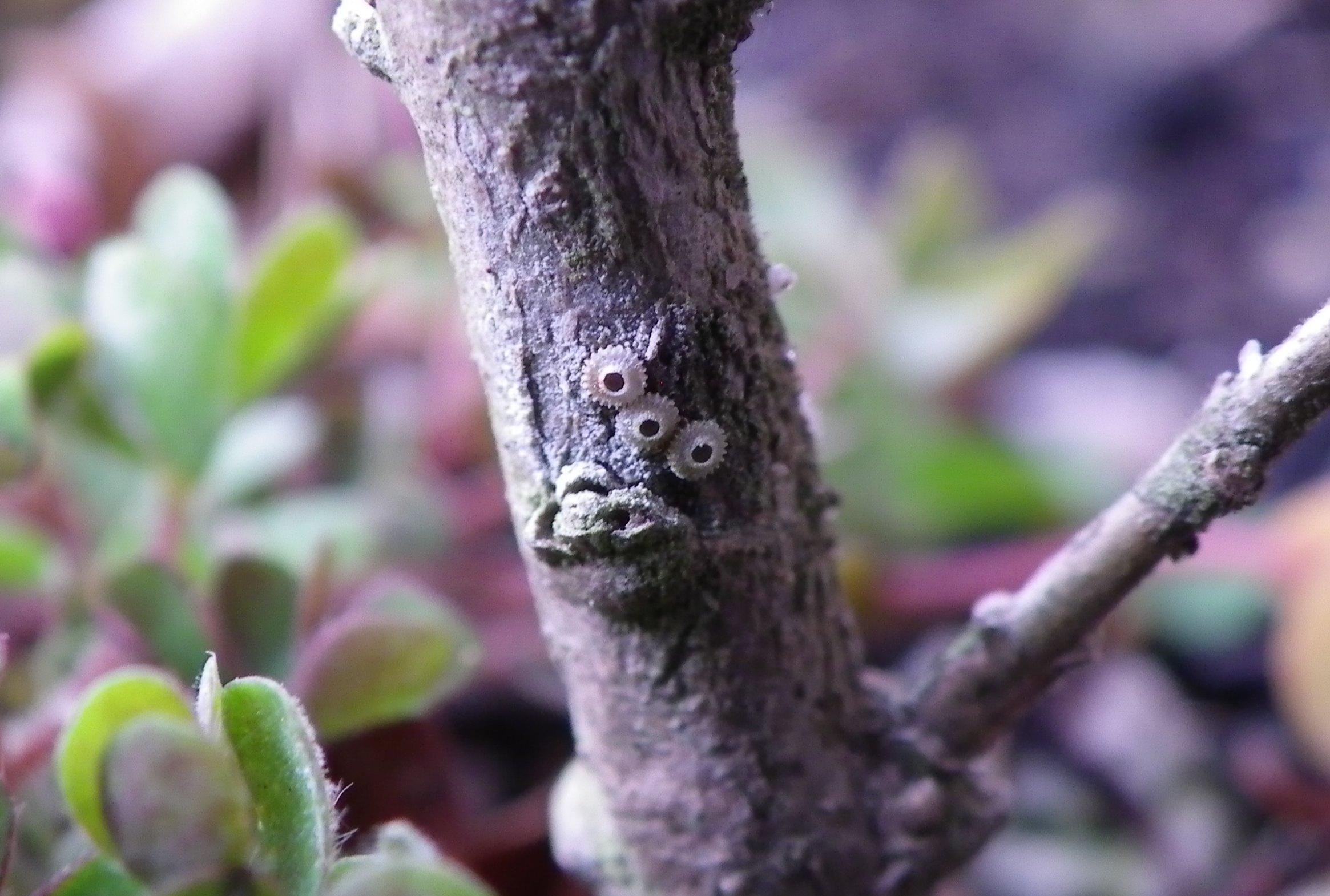 ウラゴマダラシジミ幼虫達  3月12日_d0254540_1944753.jpg
