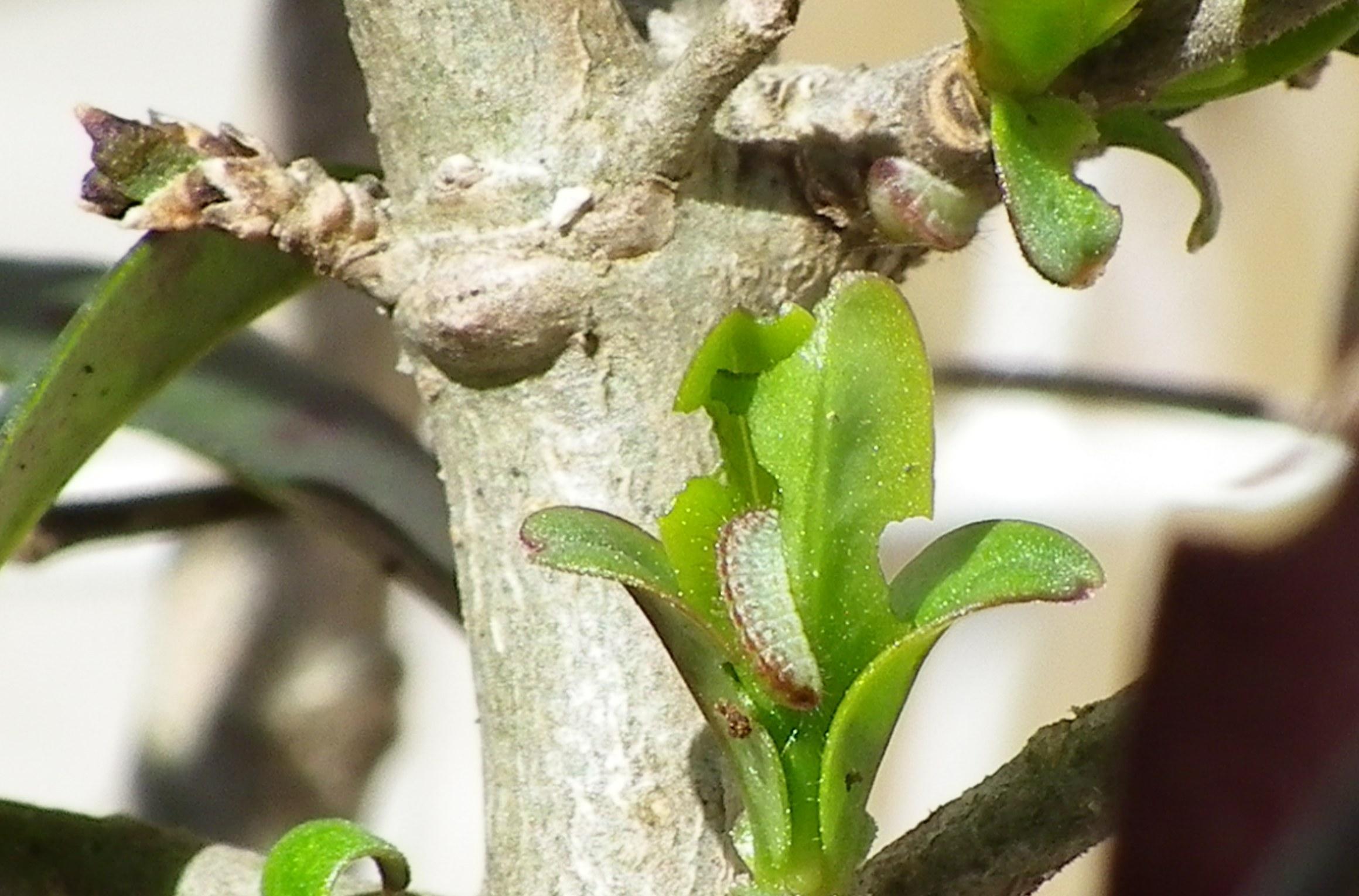 ウラゴマダラシジミ幼虫達  3月12日_d0254540_1945460.jpg