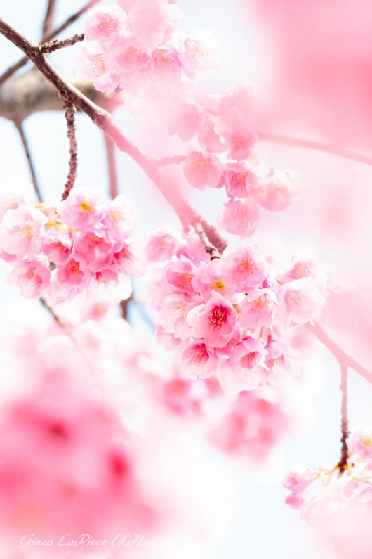 花のある風景 桃色のオオシマザクラ_b0133053_0234366.jpg