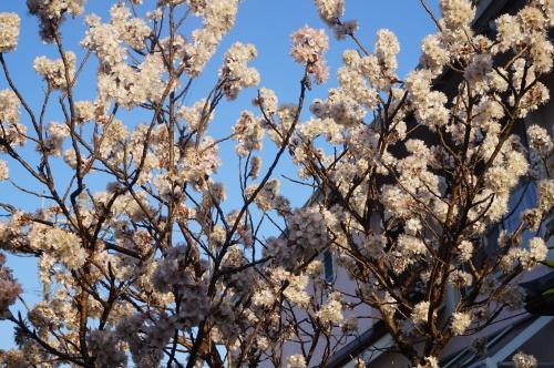 春はきたけれど_a0201257_15015779.jpg