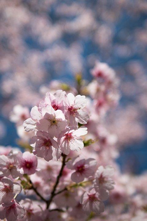 桜満開の旧地方裁判所_d0353489_21194388.jpg