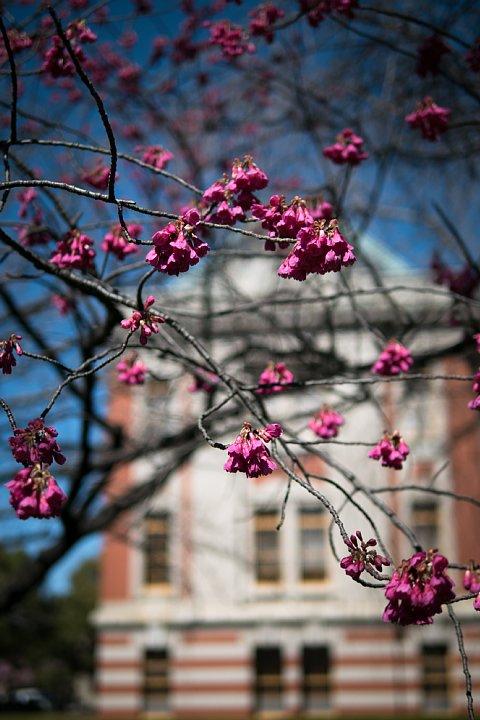 桜満開の旧地方裁判所_d0353489_21215246.jpg