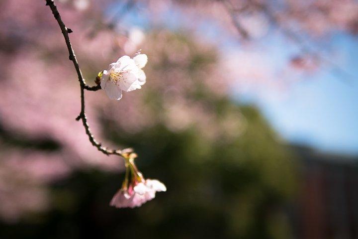 桜満開の旧地方裁判所_d0353489_21224841.jpg