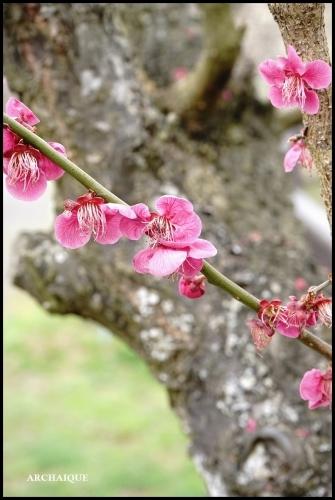 ** 梅は咲いたか~ 桜も咲いたよ~ **_c0207890_17503309.jpg