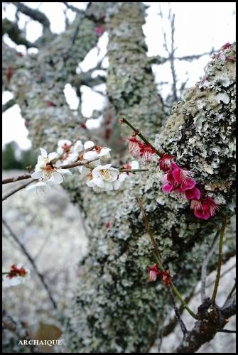 ** 梅は咲いたか~ 桜も咲いたよ~ **_c0207890_17504517.jpg