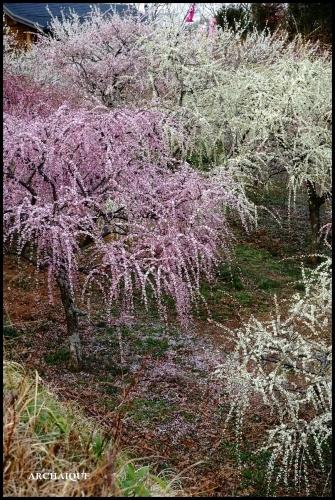 ** 梅は咲いたか~ 桜も咲いたよ~ **_c0207890_17511691.jpg
