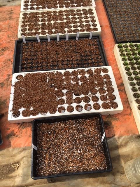 今朝は苗床と畑 ロストしたトマトの種の代わりの種を揃えにお店に  収穫もあったので猛ダッシュ作業でした_c0222448_11524001.jpg