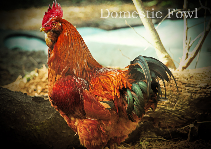 ツシマジドリ:Domestic Fowl_b0249597_547272.jpg
