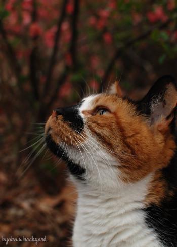 木瓜の花を愛でる三毛猫姉妹_b0253205_02502466.jpg
