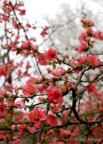 木瓜の花を愛でる三毛猫姉妹_b0253205_02513993.jpg