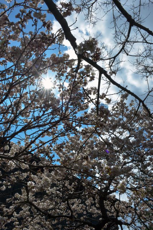 善通寺の涅槃桜 ②_d0246136_17343571.jpg