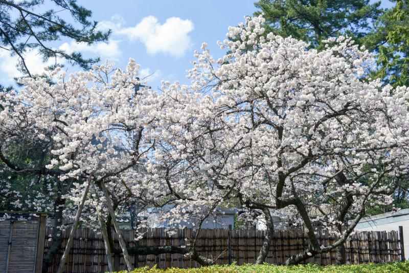 善通寺の涅槃桜 ②_d0246136_17350758.jpg