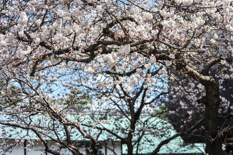 善通寺の涅槃桜 ②_d0246136_17355336.jpg