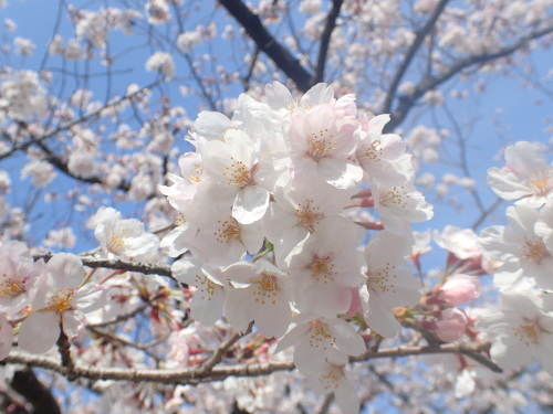 桜 咲く!_a0315918_18351734.jpg