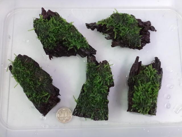 160317 熱帯魚・水草・観葉植物_f0189122_1327997.jpg