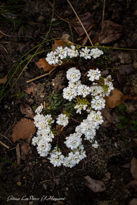 花のある風景 ちょこっとだけイベリス_b0133053_0183843.jpg