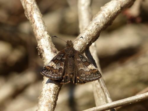 春の蝶 ミヤマセセリ_d0353091_16294930.jpg
