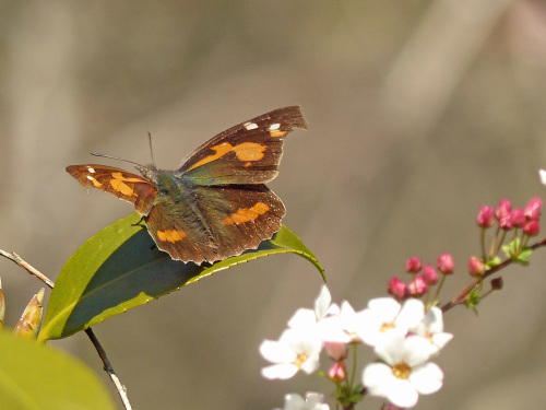 春の蝶 ミヤマセセリ_d0353091_16303427.jpg
