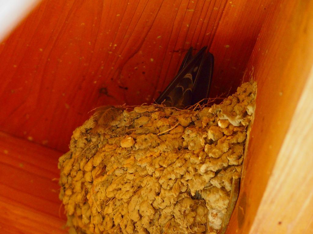 リュウキュウツバメが抱卵はじめました。_f0121321_13382941.jpg