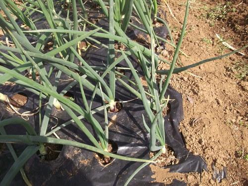 玉ねぎ..初収穫です。_b0137932_1614519.jpg