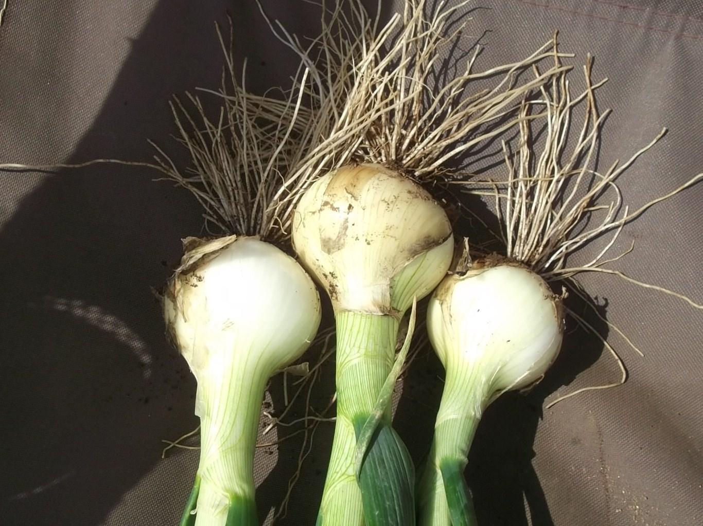玉ねぎ..初収穫です。_b0137932_16181621.jpg