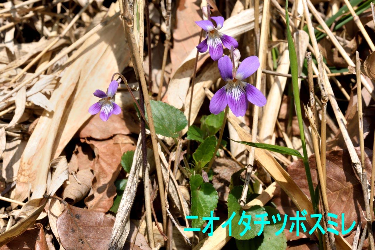 スミレの季節の到来_c0129047_20481338.jpg