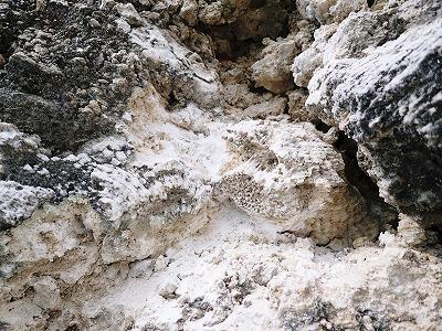 穿孔貝(せんこうがい)の化石_c0180460_10303435.jpg