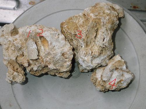 穿孔貝(せんこうがい)の化石_c0180460_10314793.jpg